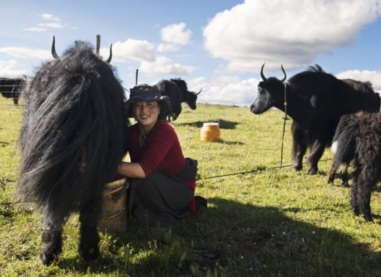 Die Yaks liefern den Nomaden lebenswichtige Nahrung und Wolle für Kleidung. Foto: Annette Etges.